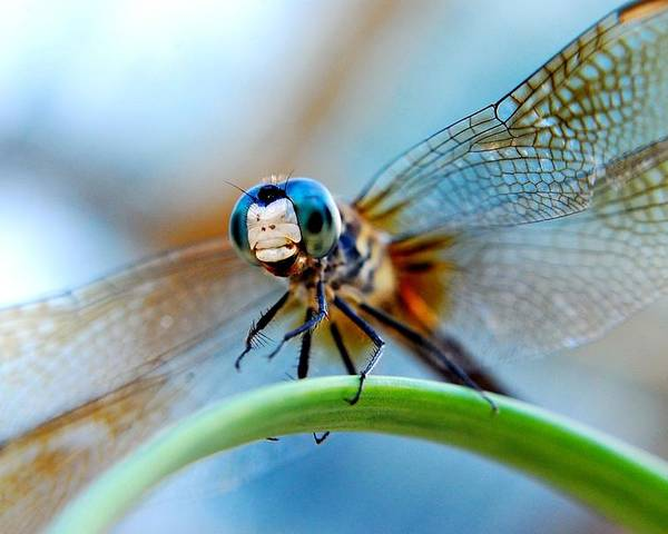 Dragon Fly Poster featuring the photograph Mr Fly by Kendra Longfellow