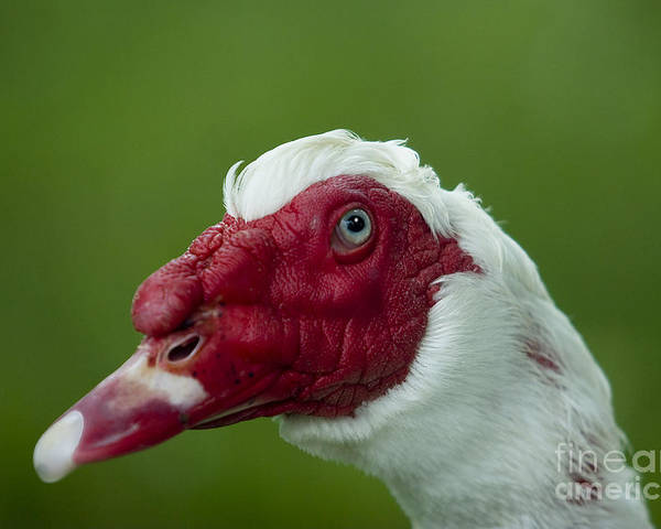 Duck Poster featuring the photograph Muscovy Duck Canard Muscovy by Nicole Cloutier Photographie Evolution Photography