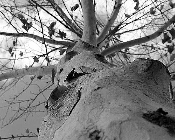 Tree Poster featuring the photograph My Branches Are Strong by Jenna Monroe