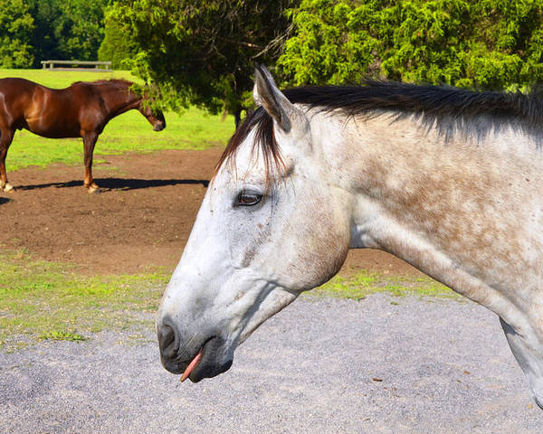 Horses Poster featuring the photograph Nanny Nanny Boo Boo by Paul Mashburn