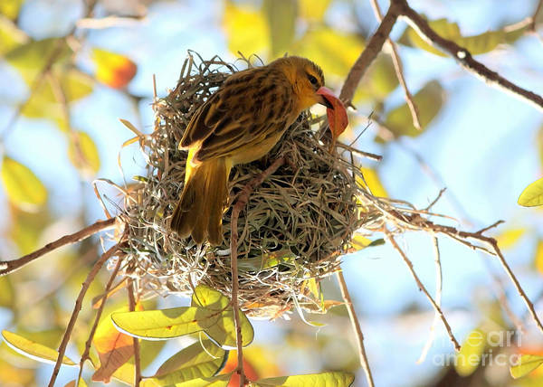 Nest Poster featuring the photograph Nesting Instinct by Carol Groenen
