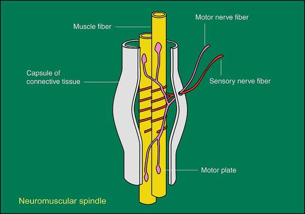 Muscle Poster featuring the photograph Neuromuscular Spindle, Artwork by Francis Leroy, Biocosmos