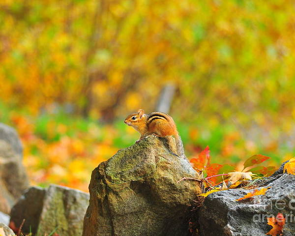 Chipmunk Poster featuring the photograph New Hampshire Chipmunk by Catherine Reusch Daley