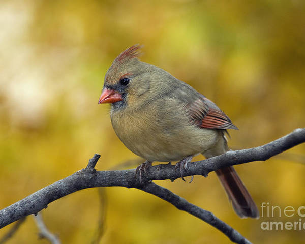 Female Poster featuring the photograph Northern Cardinal Female - D007849-1 by Daniel Dempster