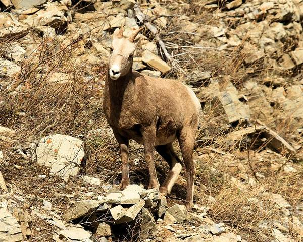 Big Horn Sheep Poster featuring the photograph Oh Really? by Adam Jewell