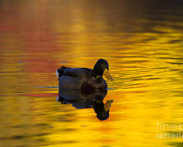 Mallard Poster featuring the photograph On Golden Waters by Mike Dawson