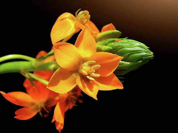 Horizontal Poster featuring the photograph Orange Chincherinchee by Gitpix