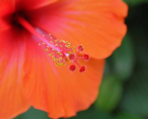 Orange Poster featuring the photograph Orange Hibiscus by Sarah Ellis