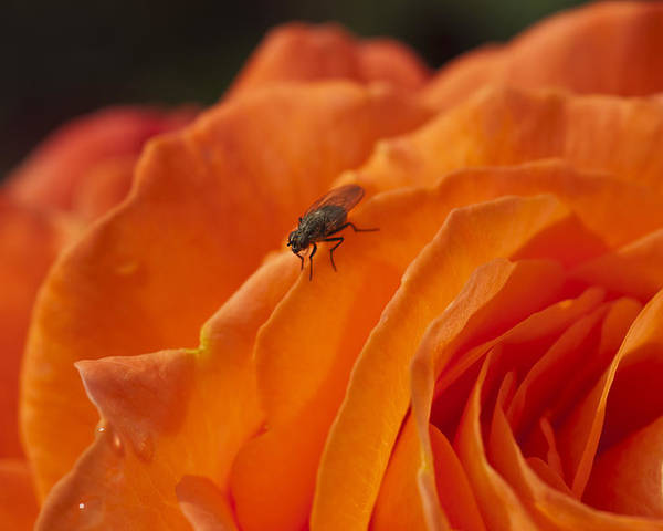 Orange Rose Poster featuring the photograph Orange With Visitor by Steve Purnell