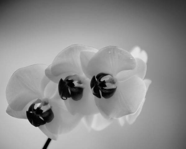 Flower Poster featuring the photograph Orchid by Matthias Krapp