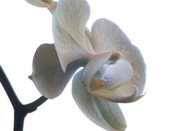Flowers Poster featuring the photograph Orchids 1 by Mike McGlothlen