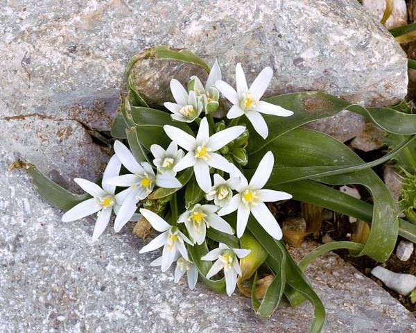 Star Of Bethlehem Poster featuring the photograph Ornithogalum Montanum by Bob Gibbons