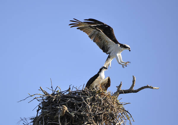 Osprey Poster featuring the photograph Osprey Coming in for a Landing by Christine Stonebridge