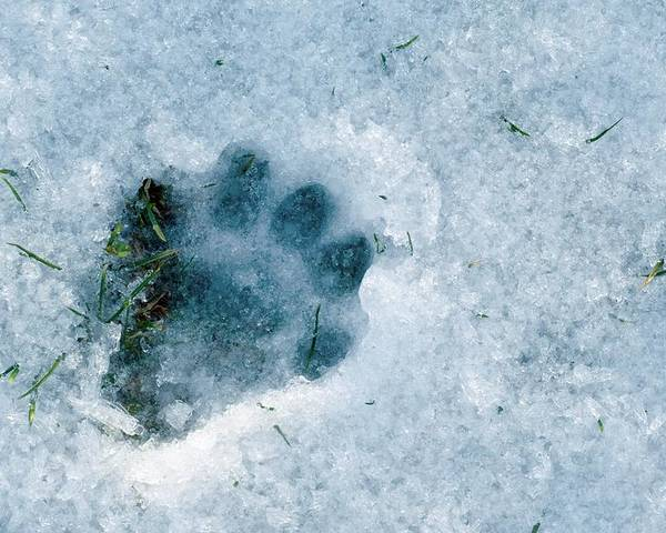 Lutra Lutra Poster featuring the photograph Otter Footprint In Snow by Duncan Shaw