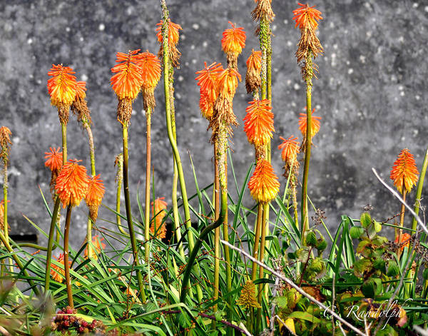Orange Flowers Poster featuring the photograph Paintbrushes by Cheri Randolph
