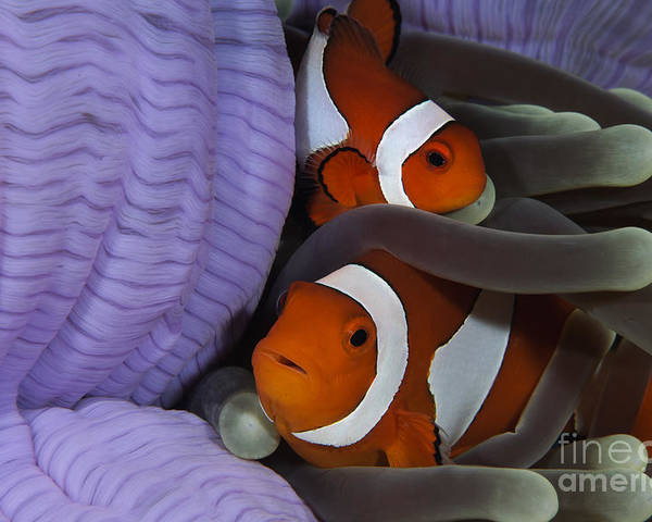 Osteichthyes Poster featuring the photograph Pair Of Clown Anemonefish, Indonesia by Todd Winner