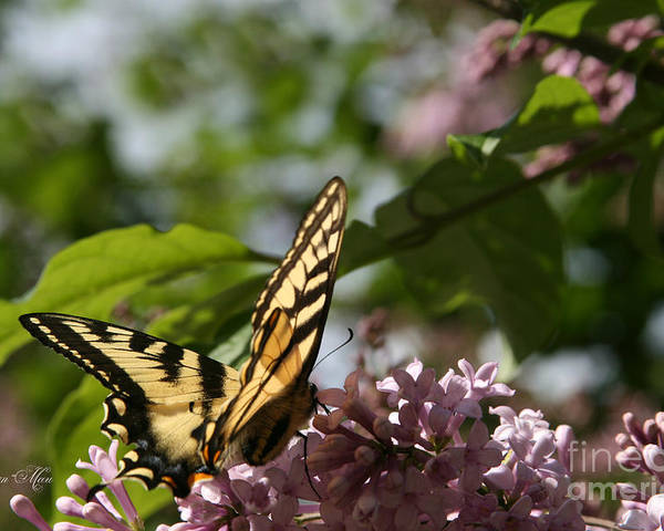 Aloha Poster featuring the photograph Papilio Glaucus  Eastern Tiger Swallowtail by Sharon Mau