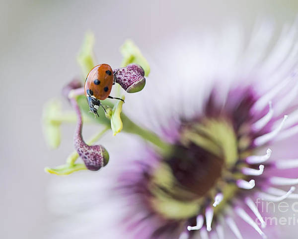 Coccinella Septempunctata Poster featuring the photograph Passion Lady by Jacky Parker
