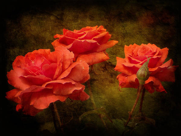 Rose Poster featuring the photograph Pastel Summer by Blair Wainman