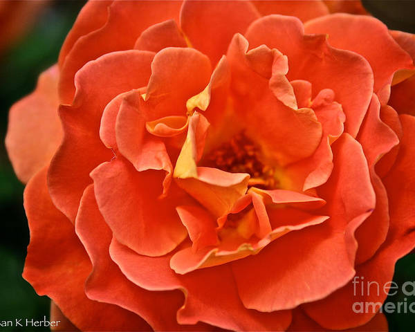 Garden Poster featuring the photograph Peach Petals by Susan Herber