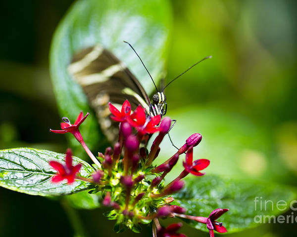 Butterfly Poster featuring the photograph Peek-a-boo by Leslie Leda
