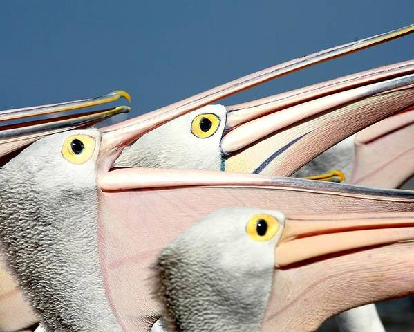 Horizontal Poster featuring the photograph Pelicans (eyes Have It) by An Gobán Saor