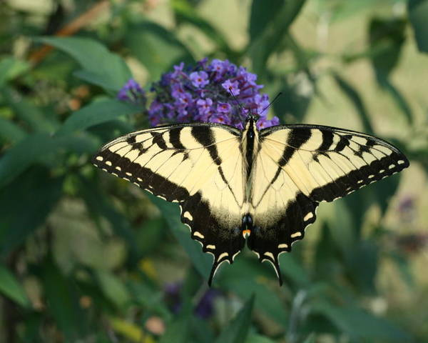 Butterfly Poster featuring the photograph Perfectly Aligned Butterfly On Butterfly Bush by Bonnie Boden