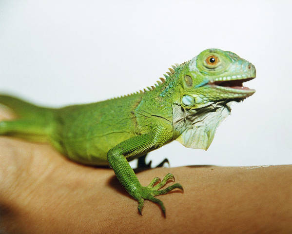 Common Iguana Poster featuring the photograph Pet Iguana by Cristina Pedrazzini