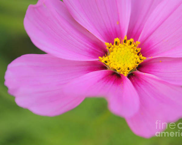 Flower Poster featuring the photograph Petaline - P01a by Variance Collections