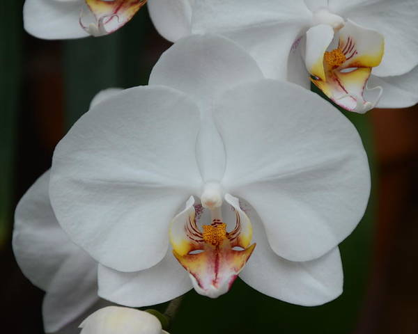 Phalaenopsis Poster featuring the photograph Phalaenopsis Orchid by Michael Carrothers