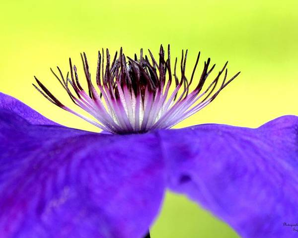 Clematis Poster featuring the digital art Phenomena by Suzanne McClain