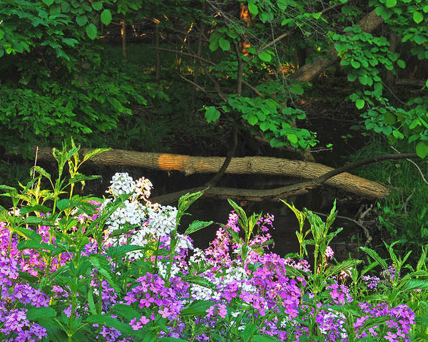 Phlox Poster featuring the photograph Phlox Along The Creek 7185 by Michael Peychich