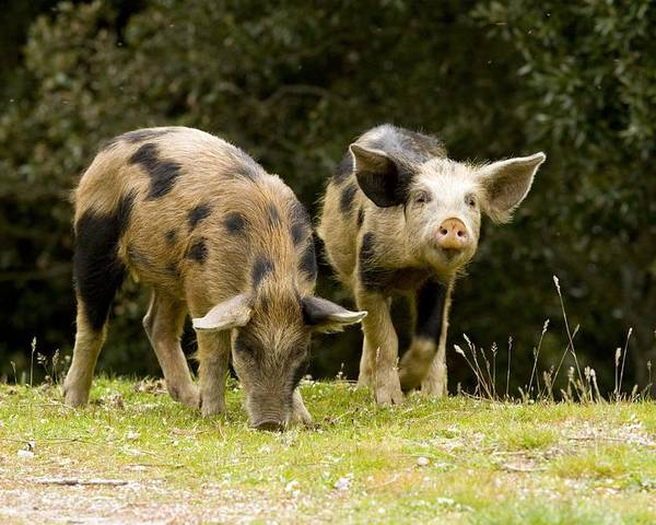 Piglets Poster featuring the photograph Piglets Foraging In Woodland by Bob Gibbons