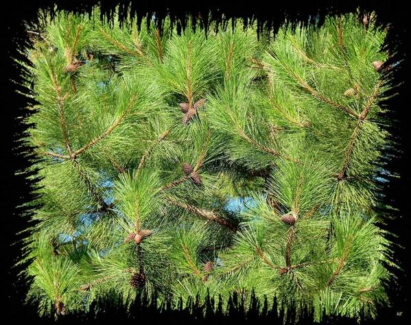 Pine Cones Poster featuring the photograph Pine Cones And Needles by Will Borden