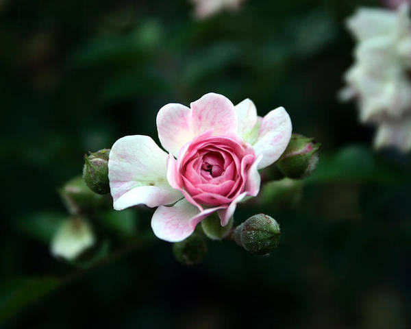 Flower Poster featuring the photograph Pink And White Flower by Jessica Buckler