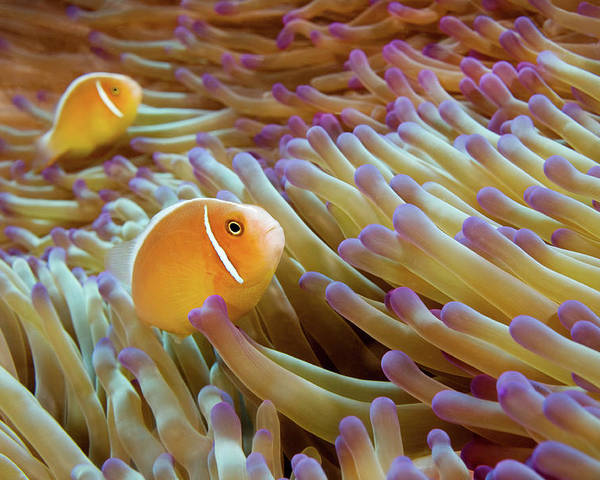 Horizontal Poster featuring the photograph Pink Anemonefish by James R.D. Scott