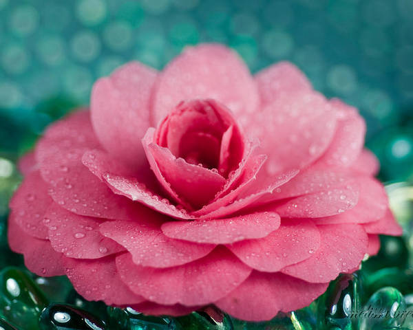 Pink Poster featuring the photograph Pink Camellia by Melissa Wyatt