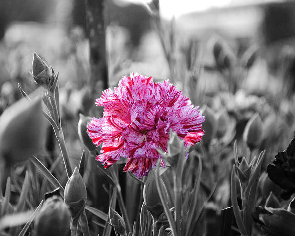 Pink Carnation Poster featuring the photograph Pink Carnation by Sumit Mehndiratta