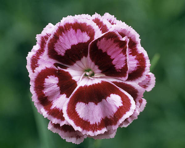 'becky Robinson' Poster featuring the photograph Pink (dianthus 'becky Robinson') by Archie Young