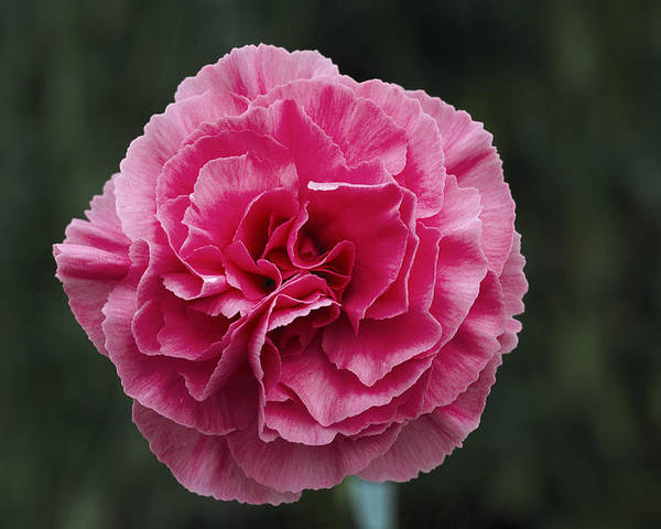 'clare' Poster featuring the photograph Pink Flower (dianthus 'clare') by Archie Young