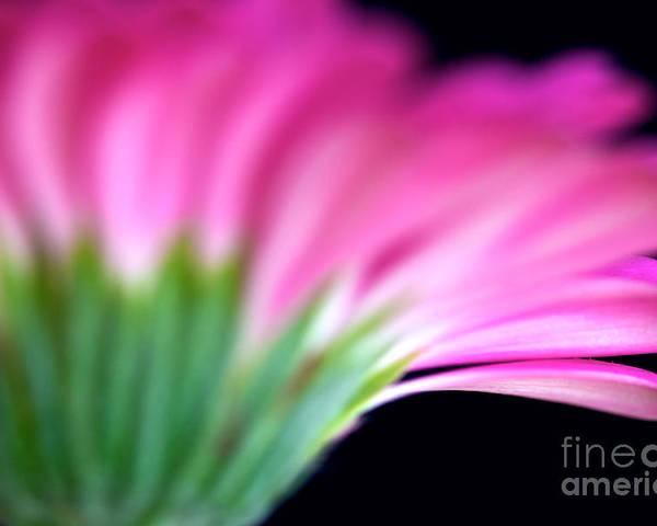 Pink Gerbera Poster featuring the photograph Pink Gerbera by Mihaela Limberea
