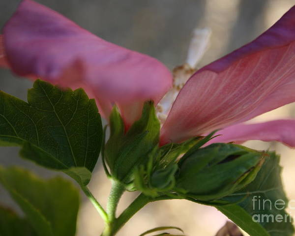 Pink Poster featuring the photograph Pink Hibiscus 2 by Berta Barocio-Sullivan