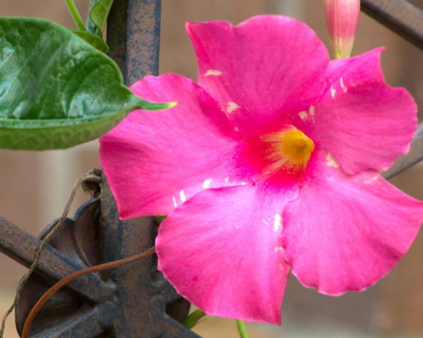 Flower Poster featuring the photograph Pink Mandevilla by Bj Hodges