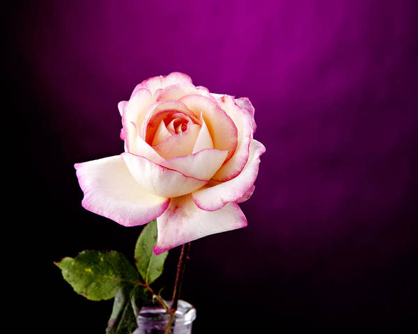 Rose Poster featuring the photograph Pink Rose Against Purple Spotlight by M K Miller