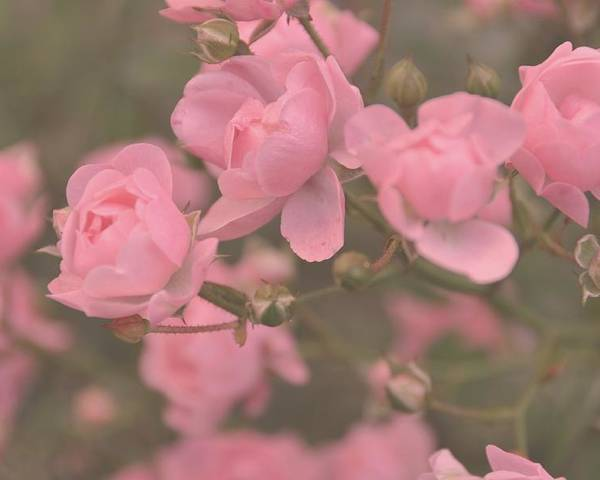 Rose Poster featuring the photograph Pink Roses by Paula Sharlea