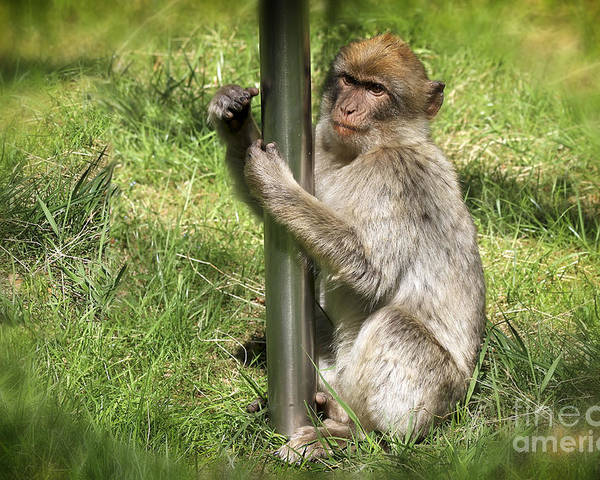 Monkey Poster featuring the photograph Pole Dancing Macaque Style by Teresa Zieba
