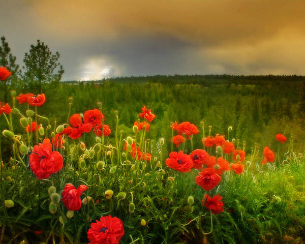 Poster featuring the photograph Poppies Before The Rain by Dan Quam