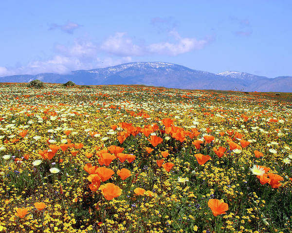 Antelope Valley Poster featuring the photograph Poppies Over The Mountain by Peter Tellone