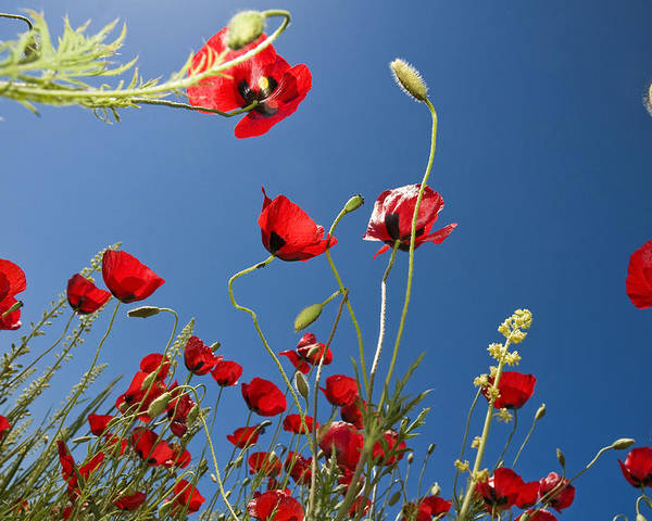 Poppy Poster featuring the photograph Poppy Field by Ayhan Altun
