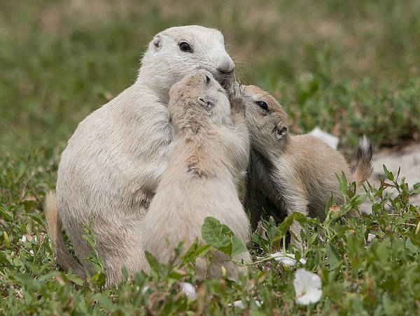 Prairie Dogs Poster featuring the photograph Prairie Kiss by Wade Aiken
